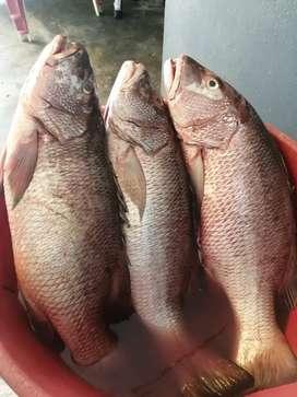 Se vende pescado fresco de mar