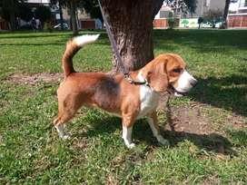 Beagle para cruce