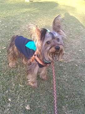Servicio de Monta Yorkie Terrier