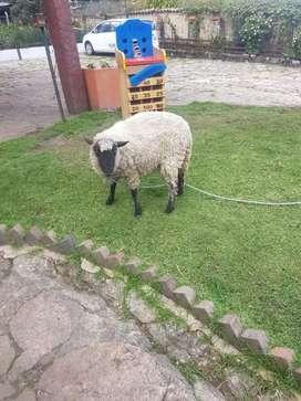 Venta de oveja pareja