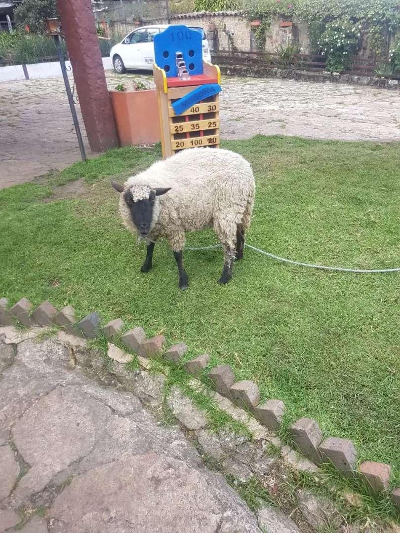 Venta de oveja pareja 0