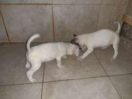 Vendo perros cruza la madre es Bull terrier