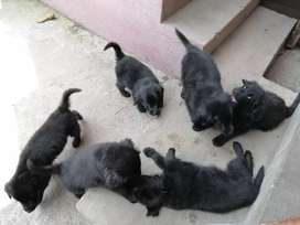 Cachorros Golden negros