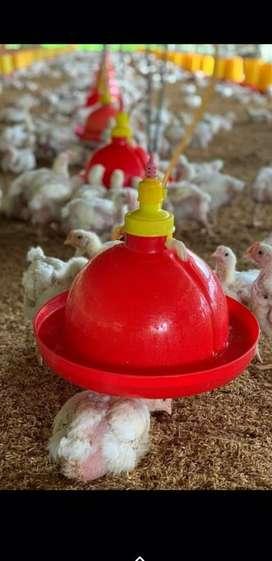 Bebederos la pollos