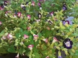 Plantines florales y Aromaticas