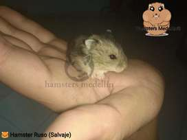 Hamster Ruso Cafe