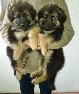 Vendo hermosos cachorros ( Pastor Aleman )