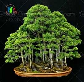 Semillas Bonsai Arce  Verde X 9