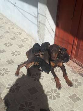doberman pincher cachorritos