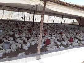 Vendo Pollo