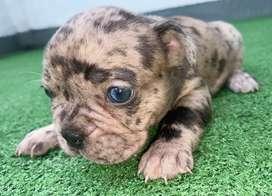 Hermosa cachorrita bulldog frances black merle triple carrier a la venta