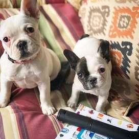 cachorros certificados bebes tiernos 58 dias hembras disponibles