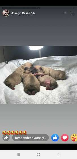 bulldog francés monta asistida