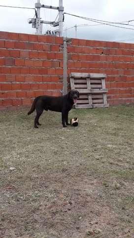 Labrador chocolate busca novia
