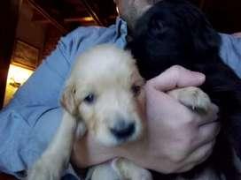 Hermosos cachorros Labrador Retriever