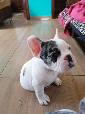 Bulldog Frances Blue Merle Exóticos