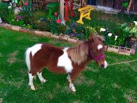 Vendo pareja de pony,mini horse