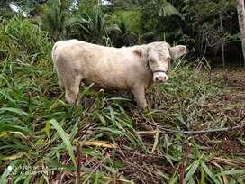 Ganado Charolais de venta, vaconas, vacas, toretes para mayor información escriba al WhatsApp O99l434343