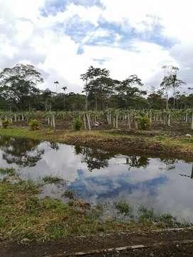 Venta cultivo de Pitahaya en Palora