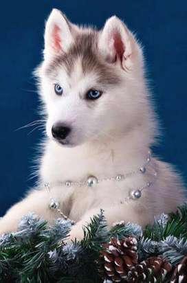 lobo siberiano husky manto rojo preciosos cachorros