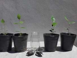 Plantines de Árbol botella, braquiquito