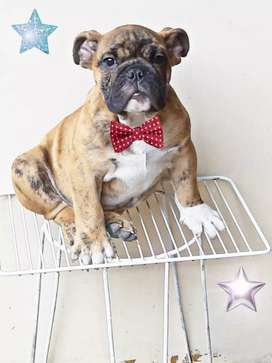 Ultimo macho bulldog ingles