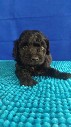 French poodle hembra dos meses