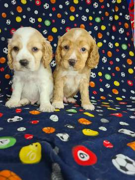 Tricolores Cockers Spaniels ag