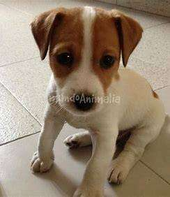 Cachorros disponibles de la gran raza Jack Russell mascota muy pequeña