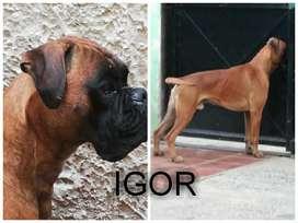 Cachorro Boxer Europeo