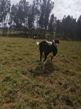 Vaca cargada de 7 meses y medio