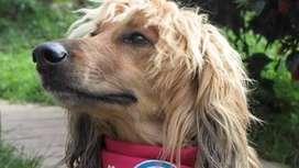 En adopcion perro : deisy (afgano)