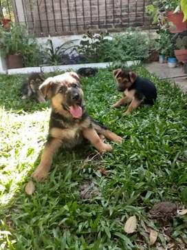 Cachorro de ovejero aleman 45 dias