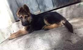 Cachorra de 4 meses