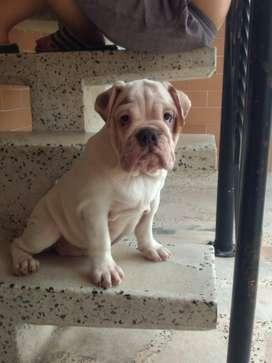 Majestuosa Bulldog ingles hembra hermosa 5 meses