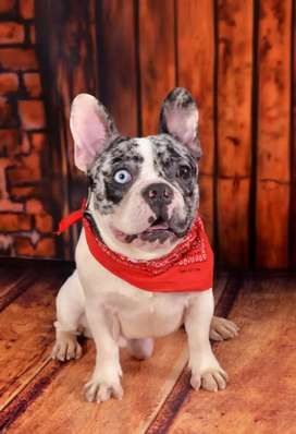 Se ofrece Bulldog francés para monta excelente genética