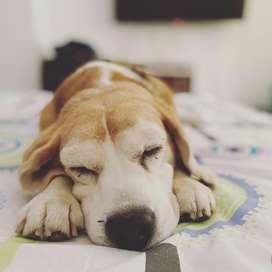 Perrito Beagle para Monta