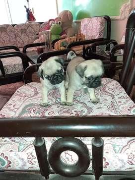 Últimos dos cachorros Pug a la venta