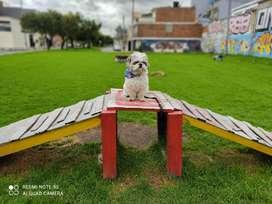 perro shitzu busca novia para monta