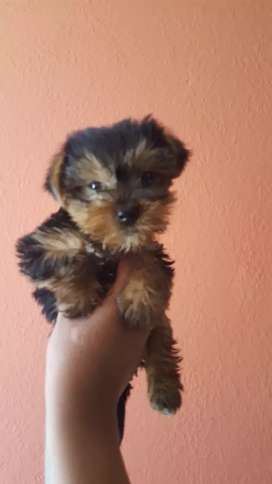 PERRITOS Yorkshire terrier Toy
