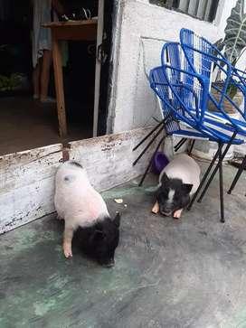 Cerdos mini pik