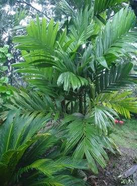 Diferentes especies.de palma de lujo