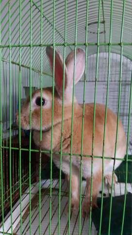 Hermosos conejos Rex