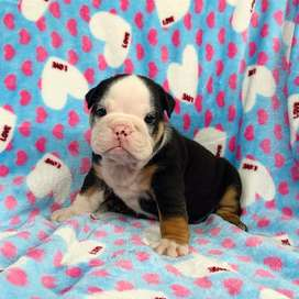 black bulldog ingles de 2 meses