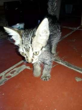 Se da en adopción gato