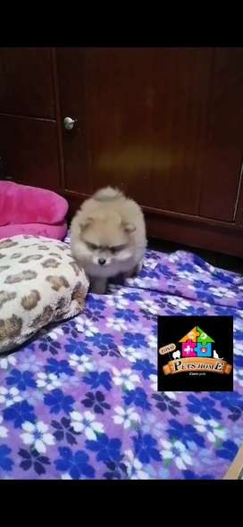 Pomerania macho