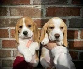 Hembrita beagle limón de 47 dias