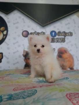 Vendo mis hermosos perros pomerania lulú miniatura garantizados miniatura