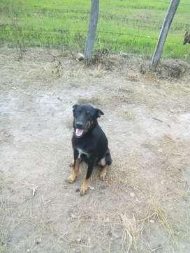 Sevende dos perros pastor alemán