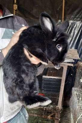 Vendo conejos Cabeza de León puros